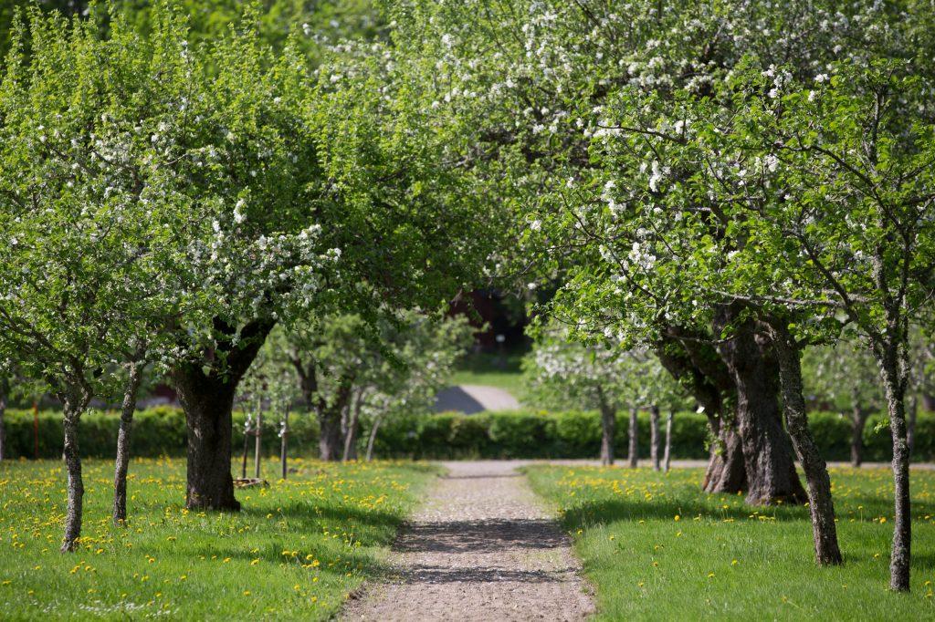 Äppelpark vid stora djulö herrgård